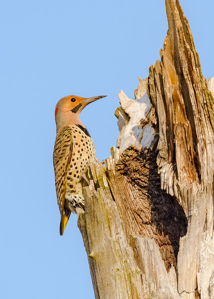 A male Northern Flicker at Highland's Heron Rookery, Highland, IN
