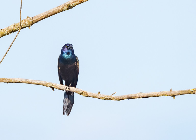 A Common Grackle at Highland's Heron Rookery, Highland, IN