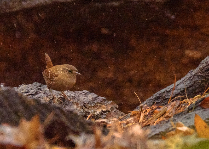 A Winter Wren at Rum Village Nature Center, South Bend, IN