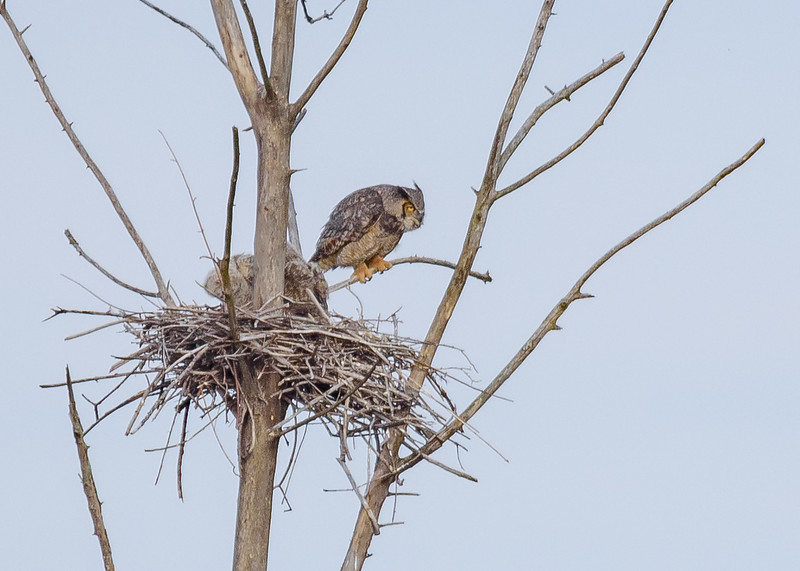 Mama GHOW along with 2 owlets at Highland's Heron Rookery, Highland, IN