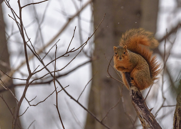 An Fox Squirrel at Rum Village Nature Center, South Bend, IN