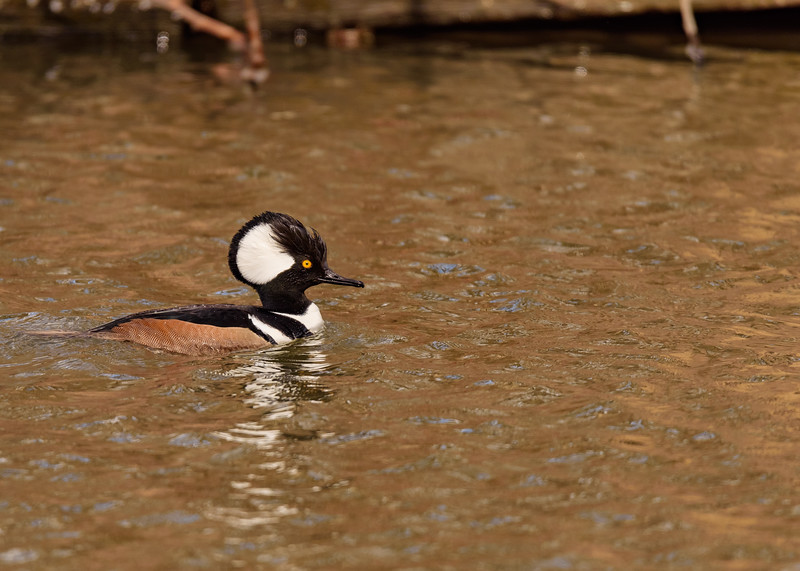 A male Hooded Merganser at St. Joseph's Lake, Notre Dame, IN.