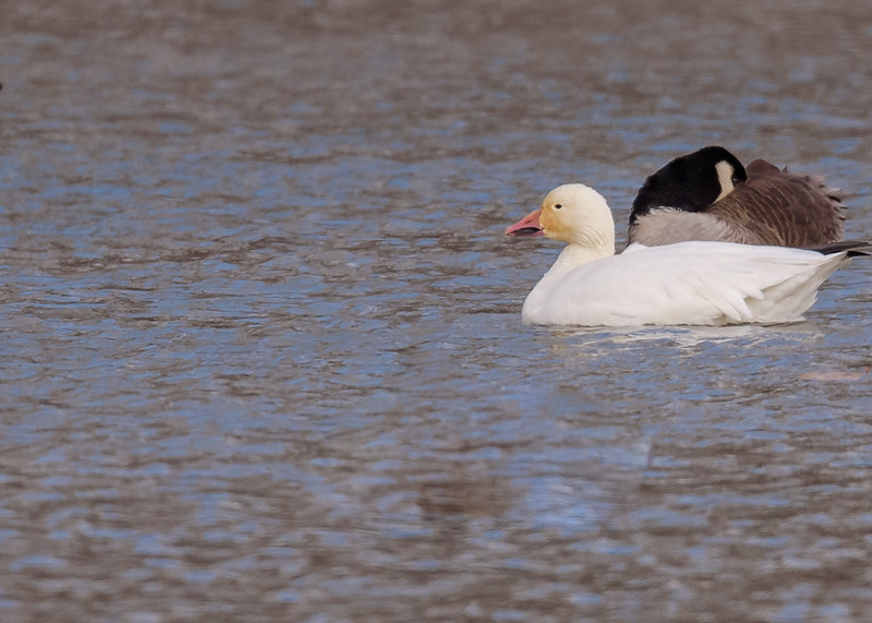 A lost Snow Goose among many CAGO's at St. Joseph's Lake, Notre Dame, IN.