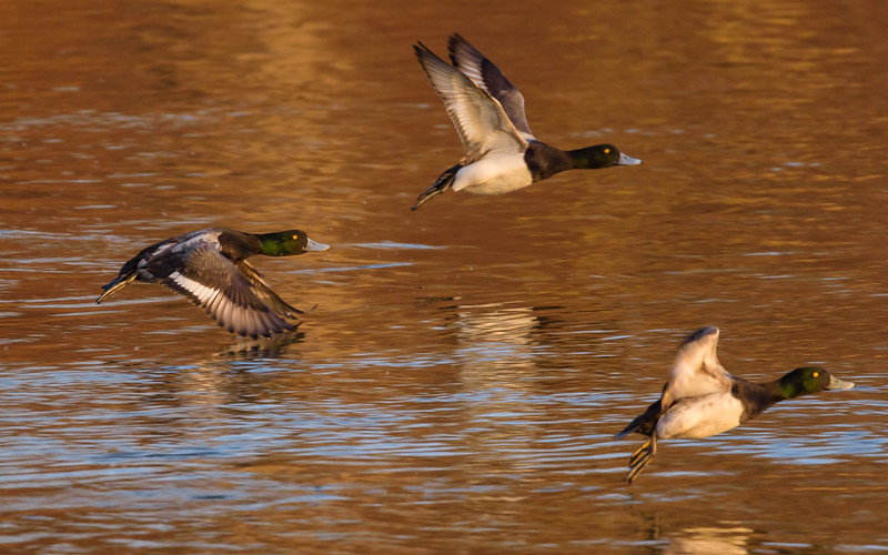 Greater Scaups in flight at northside riverside walk, South Bend, IN.