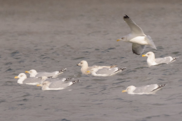 An Iceland Gull among adult RBGU's at St. Joseph's Lake, Notre Dame, IN.