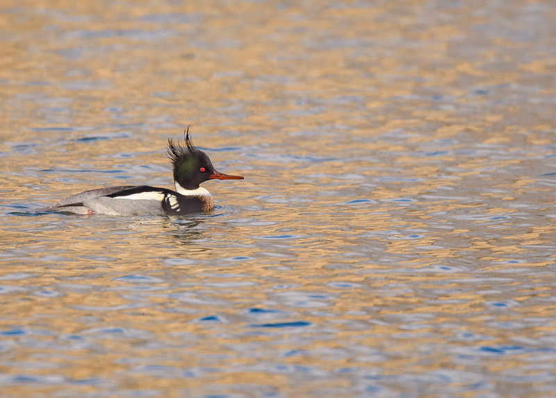 A male Red-breasted Merganser displaying his stuff, at St. Joseph's Lake, Notre Dame, IN.