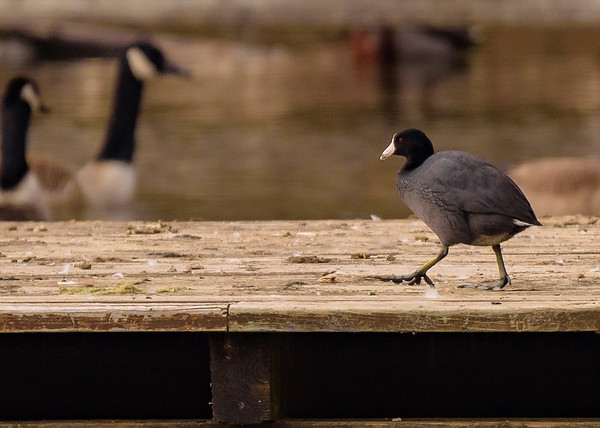 One step for coot is a great step for? Have you noticed those legs?