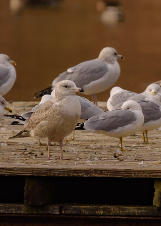 An Iceland Gull at St. Joseph's Lake, Notre Dame, IN