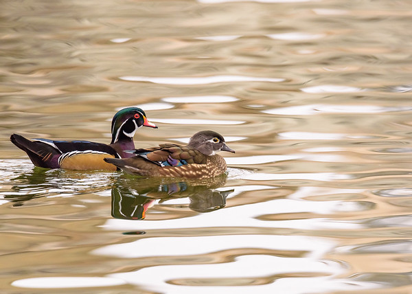 A Wood Duck couple seen at St. Joseph's Lake, Notre Dame, IN.