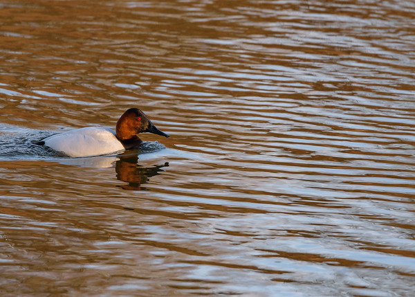 Take-2 at the male Canvasback seen at northside riverside walk, South Bend, IN.