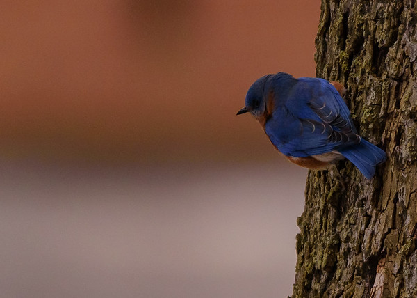 An male Eastern Bluebird at St. Joseph's Lake, Notre Dame, IN