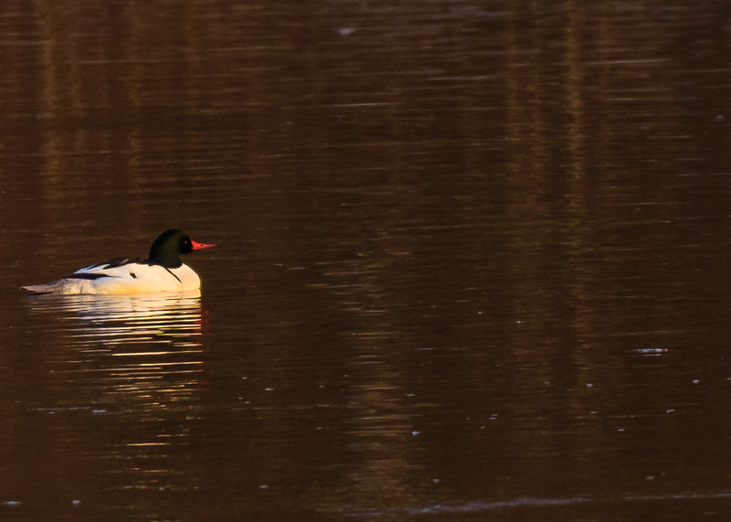 A distant male Common Merganser at northside riverside walk, South Bend, IN.
