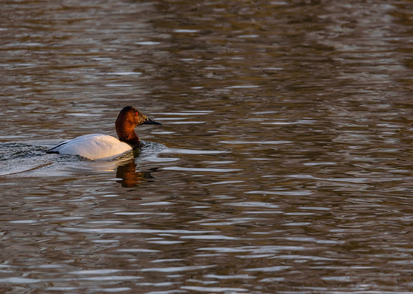 Take-3 (and the last one) at the male Canvasback seen at northside riverside walk, South Bend, IN.