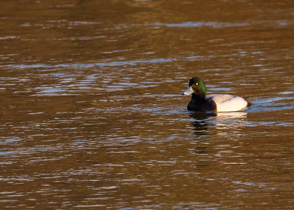 A male Greater Scaup at northside riverside walk, South Bend, IN.