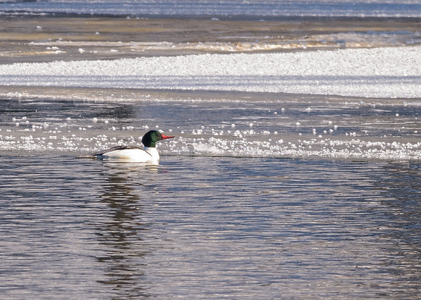 One of the many Common Merganser at northside riverside walk, South Bend, IN