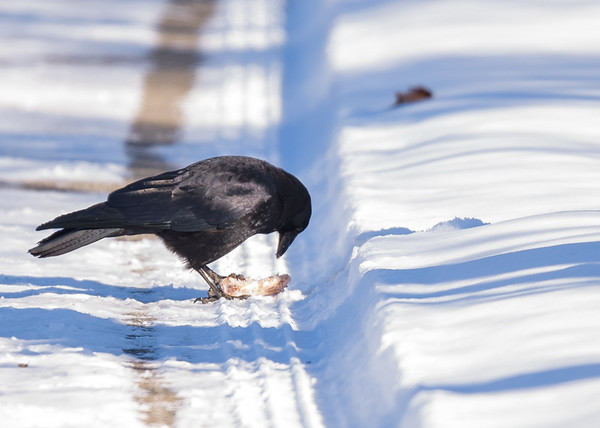 An American Crow having some nice breakfast (chicken wings!!) on an very chilly morning at northside riverside walk, South Bend, IN