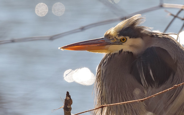 A Great Blue Heron enjoying the warm sun on a very cold day, at northside riverside walk, South Bend, IN