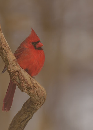 A thoughtful Northern Cardinal at Rum Village Nature Centre, South Bend, IN