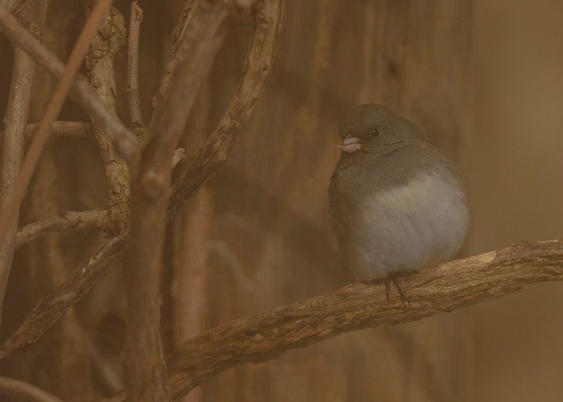 A Dark-eyed Junco enjoying some nice snacks on a sunny but cold afternoon at Rum Village Nature Centre, South Bend, IN