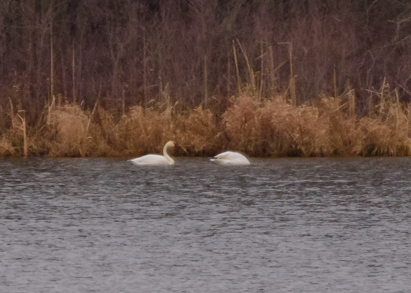 A distant shot of Tundra Swans from Potato Creek State Park, North Liberty, IN