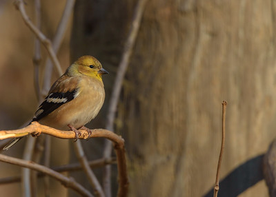 An American Goldfinch taking in the sun on a very chilly day at Rum Village Nature Centre, South Bend, IN