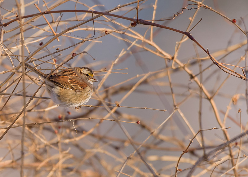 A puffed out Song Sparrow managing the cold at northside riverside walk, South Bend, IN
