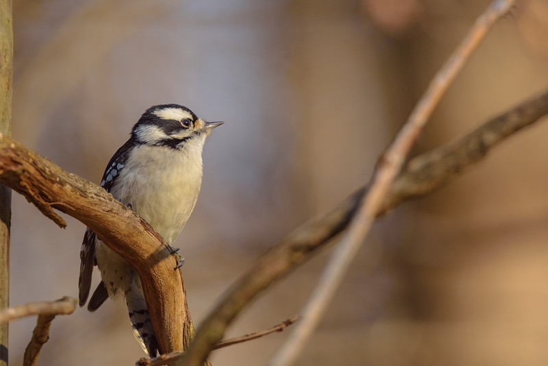 A female Downy Woodpecker contemplating which feeder to choose at Rum Village Nature Centre, South Bend, IN