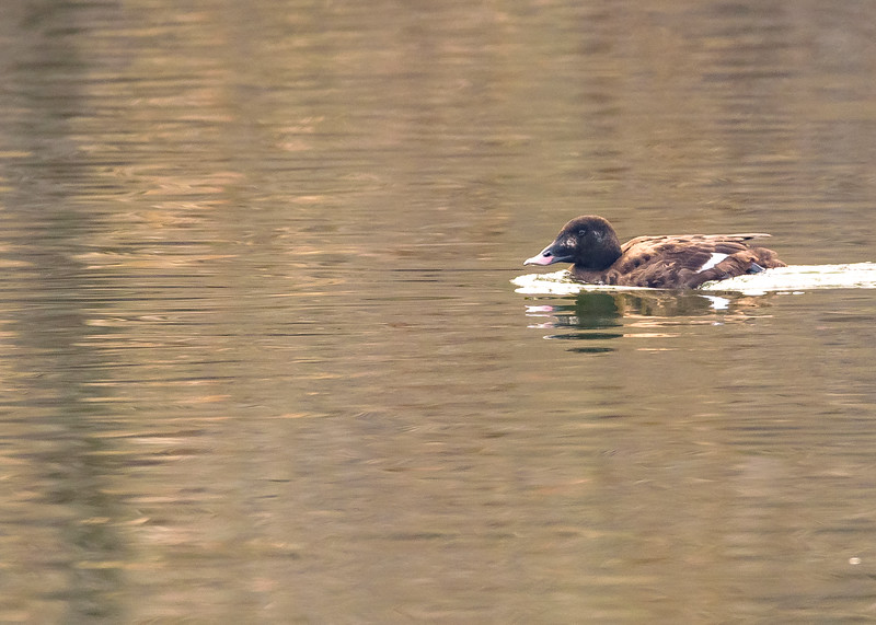 A female White-winged Scoter near Veterans Memorial Park, South Bend, IN