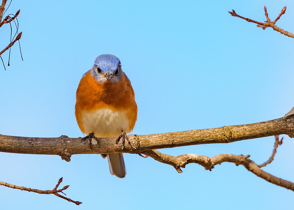 A curious male Eastern Bluebird looking at us, at St. Mary's Lake, Notre Dame, IN