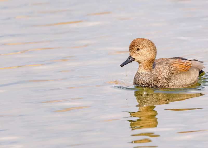 A male Gadwall at St. Mary's Lake, Notre Dame, IN