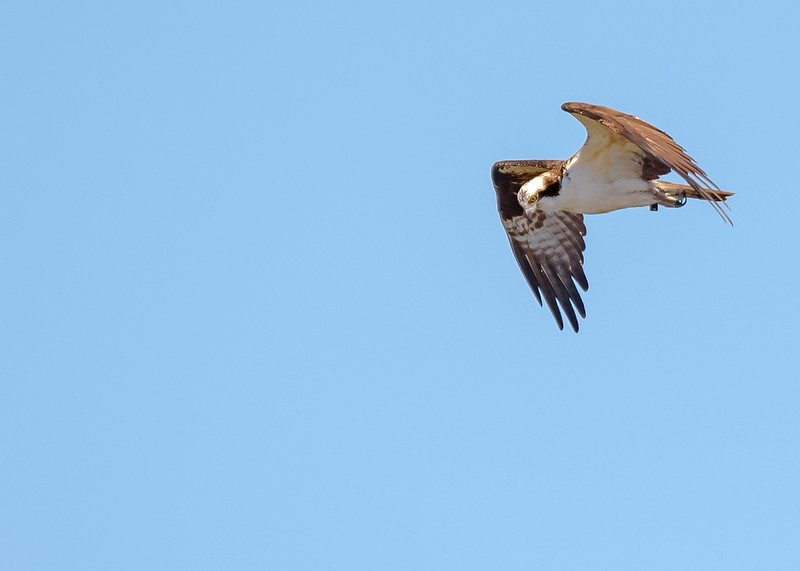 A male Osprey in flight looking for some tasty fish at Potato Creek State Park, North Liberty, IN