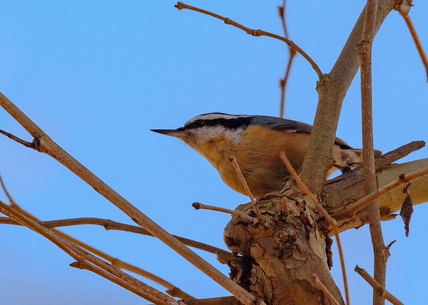 A Red-breasted Nuthatch at St. Mary's Lake, Notre Dame, IN