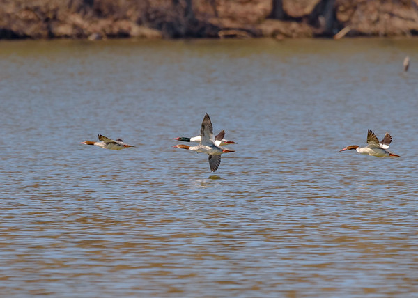 Common Mergansers in flight at Potato Creek State Park, North Liberty, IN