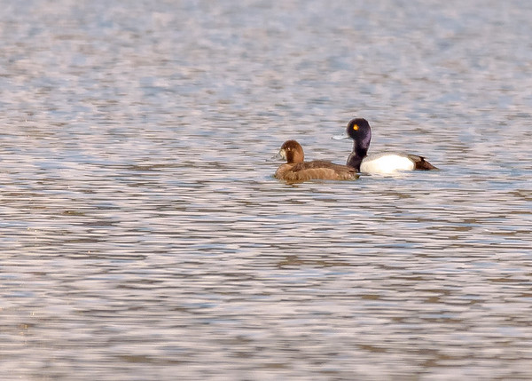 A Lesser Scaup couple at St. Mary's Lake, Notre Dame, IN
