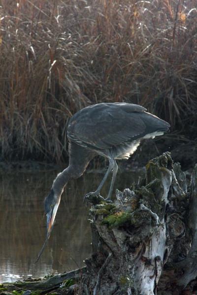 Great Blue Heron 2009