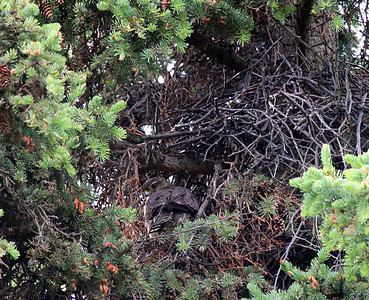 6-22-08 - female in the nest