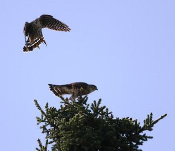May 18, 2008 - they would mate at the top of this tree every two or three days...