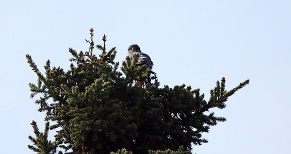 May 18, 2008 - the male staking out the tree and calling to the female