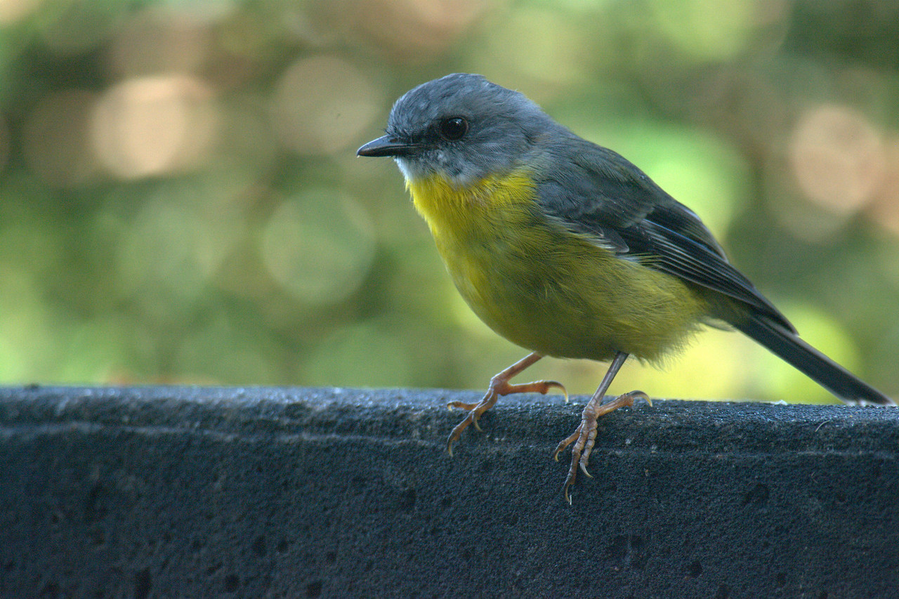 Eastern Yellow Robin 2