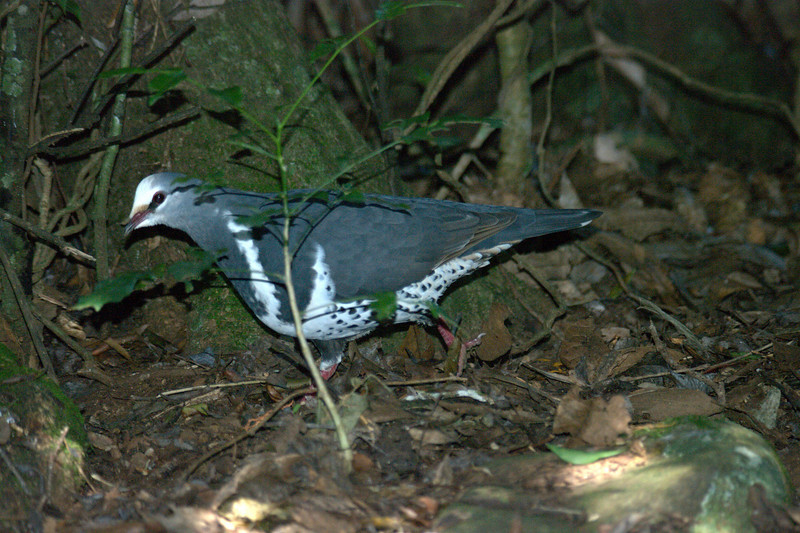 Grey Headed Pigeon