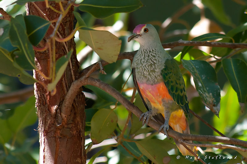 Rose Crowned fruit dove 1110