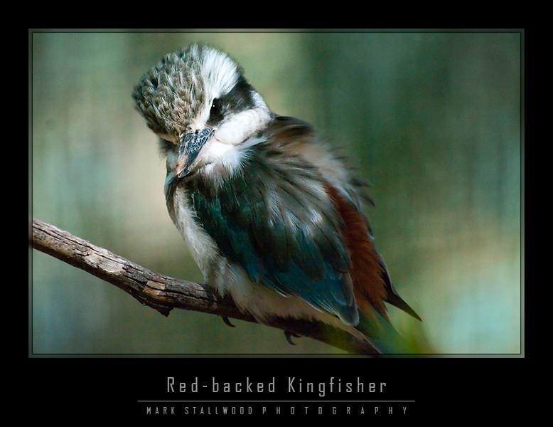 Kingfisher red backed