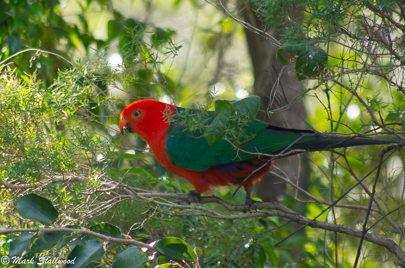 Gold Coast King Parrot-2