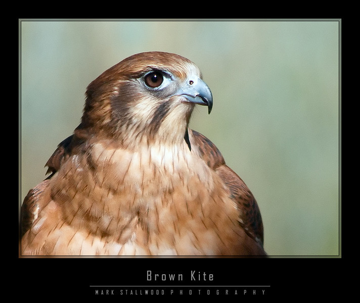 Brown Kite 3