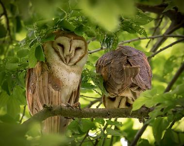 Barn Owl Shenanigans