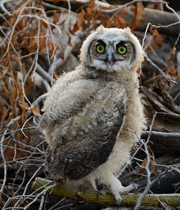 Great Horned Owl (Juvenile)