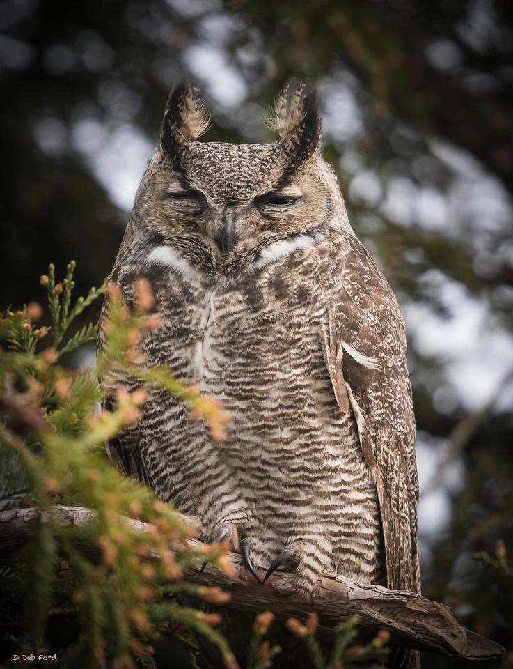 Resident Great Horned Owl