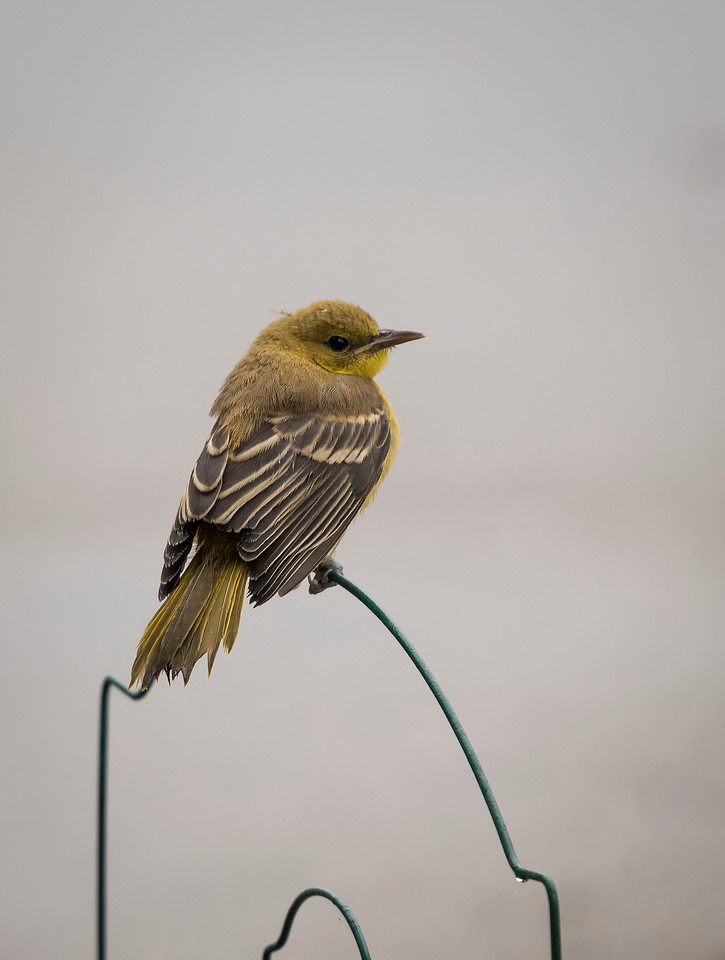 Juvenile Hooded Oriole
