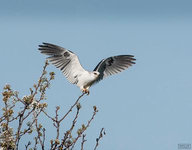 White-tailed Kite Copulation Series
