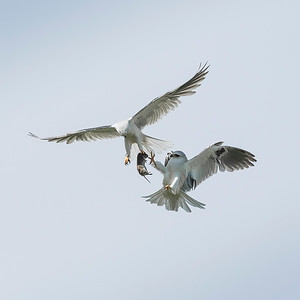White-tailed Kites passing food
